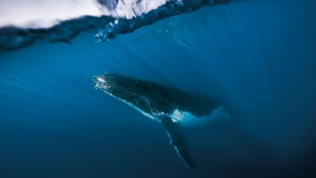 Swim With The Humpbacks